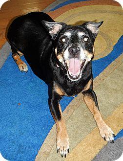 Rat Terrier Dog for adoption in Charleston, Arkansas - Shieba-registered