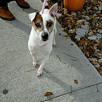 Jack Russell Terrier Dog for adoption in Columbia, Tennessee - Dwight/Buddy KY