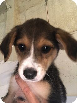 Australian Shepherd/Hound (Unknown Type) Mix Puppy for adoption in Folsom, Louisiana - Pippi