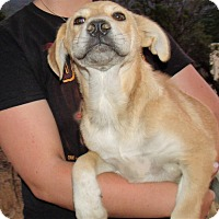 Adopt A Pet :: MIXED LAB PUPS A - Corona, CA