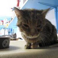 Adopt A Pet :: Carissa - Robinson, IL