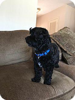 Shih Tzu/Poodle (Miniature) Mix Dog for adoption in Hesperia, California - Jack