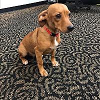 Adopt A Pet :: Daisy - Natchitoches, LA