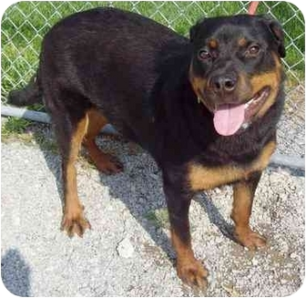 Rottweiler Mix Dog for adoption in Howes Cave, New York - Taurina - On Hold