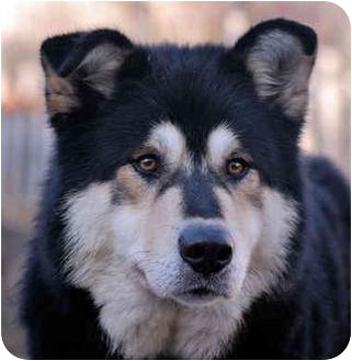 Alaskan Malamute Mix Dog for adoption in Boise, Idaho - BEAR-Adoption Pending
