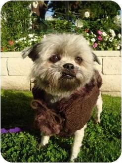 Shih Tzu Mix Dog for adoption in Los Angeles, California - Jingle