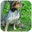 Photo 2 - Beagle/Bluetick Coonhound Mix Dog for adoption in Center Valley, Pennsylvania - Samantha