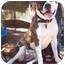 Photo 1 - American Bulldog Mix Dog for adoption in Gilbert, Arizona - Scoop