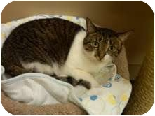 Domestic Shorthair Cat for adoption in Medina, Ohio - Chessy