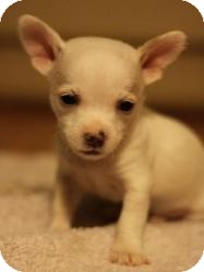 Chihuahua Mix Puppy for adoption in Seattle, Washington - Dobby