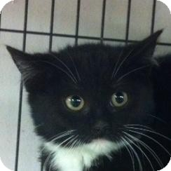 Domestic Shorthair Kitten for adoption in Brooklyn, New York - Dave