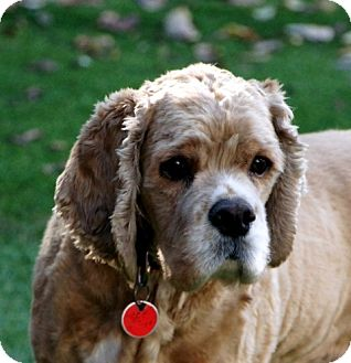 Cocker Spaniel Mix Dog for adoption in Sacramento, California - Tommy