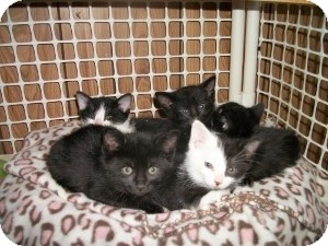 Bombay Kitten for adoption in Santa Monica, California - Ace