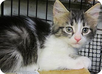 Domestic Longhair Kitten for adoption in Seminole, Florida - Flare