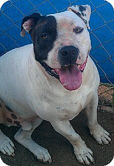 American Pit Bull Terrier Mix Dog for adoption in Blanchard, Oklahoma - Oliver