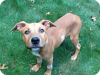 Labrador Retriever/Hound (Unknown Type) Mix Puppy for adoption in Barnegat, New Jersey - Buster Brown