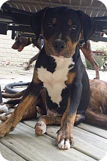 Boxer/Rottweiler Mix Puppy for adoption in Charlotte, North Carolina - Putter (Golf Litter)