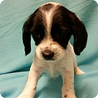 Adopt A Pet :: Dotty - Hazard, KY