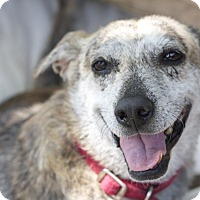 Adopt A Pet :: Shakira - Encino, CA