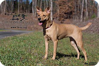 Terrier (Unknown Type, Medium)/Miniature Pinscher Mix Dog for adoption in Monroe, North Carolina - Trina