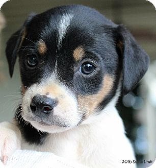 Jack Russell Terrier/Feist Mix Puppy for adoption in Bedford, Virginia - Joslyn