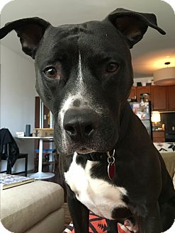 American Pit Bull Terrier Mix Dog for adoption in New York, New York - Zeus