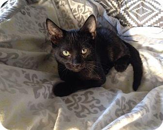 Domestic Shorthair Kitten for adoption in Studio City, California - Adam