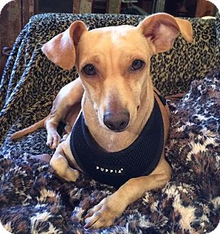 Dachshund Mix Dog for adoption in Boulder, Colorado - Pete