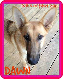 German Shepherd Dog Dog for adoption in New Brunswick, New Jersey - DAWN