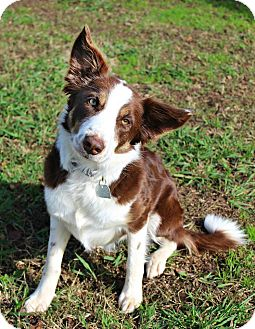 Border Collie Dog for adoption in Shreveport, Louisiana - Annie