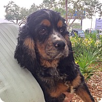 Adopt A Pet :: Beau - St. Petersburg, FL