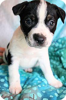 Labrador Retriever/Border Collie Mix Puppy for adoption in Allentown, Pennsylvania - Torrey