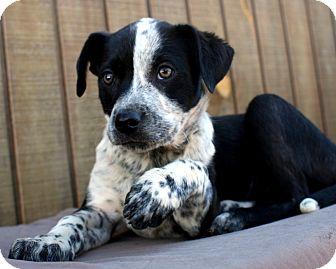 Terrier (Unknown Type, Medium)/Cattle Dog Mix Puppy for adoption in Mayflower, Arkansas - Molly