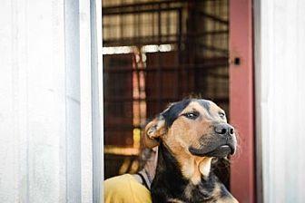 German Shepherd Dog Mix Puppy for adoption in Olympia, Washington - Jack W