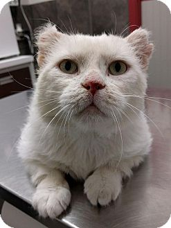 Domestic Shorthair Cat for adoption in THORNHILL, Ontario - WILDCAT