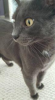 American Shorthair Cat for adoption in Saint Charles, Missouri - Zachary