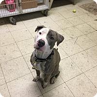 Adopt A Pet :: Valentino - Cleveland, OH