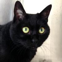 Domestic Shorthair/Domestic Shorthair Mix Cat for adoption in Toronto, Ontario - Gigi