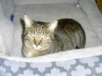 Domestic Shorthair/Domestic Shorthair Mix Cat for adoption in Hopkins, South Carolina - Amberlee