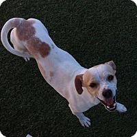 Adopt A Pet :: Peso - Apache Junction, AZ
