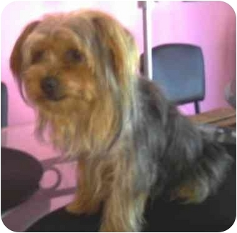 Yorkie, Yorkshire Terrier Mix Puppy for adoption in Homestead, Florida - Peanut