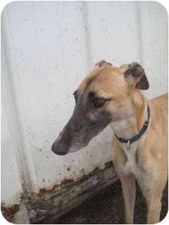 Greyhound Dog for adoption in Chagrin Falls, Ohio - Melanie (She Loves Money)
