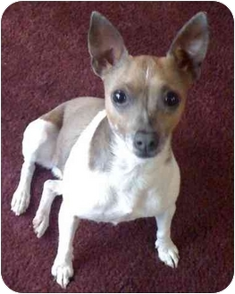 Chihuahua/Rat Terrier Mix Dog for adoption in Haughton, Louisiana - Little Bit