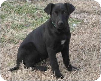 Labrador Retriever/Terrier (Unknown Type, Medium) Mix Puppy for adoption in Plainfield, Connecticut - MISTY