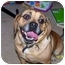Photo 2 - Pug/Beagle Mix Dog for adoption in Plainfield, Illinois - Buster