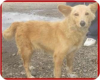Spitz (Unknown Type, Small)/Sheltie, Shetland Sheepdog Mix Dog for adoption in Bardonia, New York - Sahara