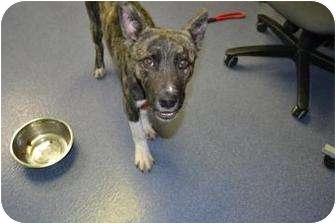 Shepherd (Unknown Type) Mix Puppy for adoption in Edwardsville, Illinois - Jax