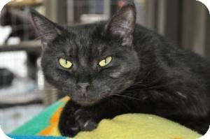 Domestic Shorthair Cat for adoption in Maple Ridge, British Columbia - Waylon Jennings