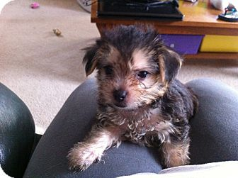 Chihuahua/Maltese Mix Puppy for adoption in Algonquin, Illinois - Chico