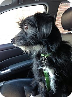 Cairn Terrier/Dachshund Mix Dog for adoption in Chicago, Illinois - Dudley